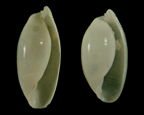 Aliculastrum debilis: shell