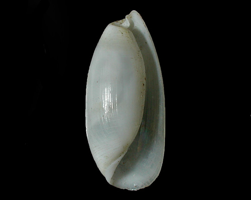 Aliculastrum debilis: shell, large