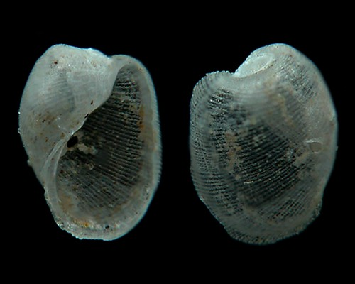 Philine sp. #3: shell