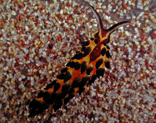 Three species of sea slugs identified, one named for Barack Obama