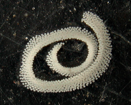 Polycera japonica: egg mass laid by large animal